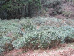 wildwachsender Tee (jisei) Zairai-shu 3