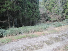wildwachsender Tee (jisei) Zairai-shu 1
