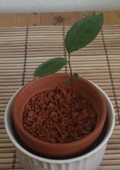 Tee Camillia Sinensis, ca. 2 Monate