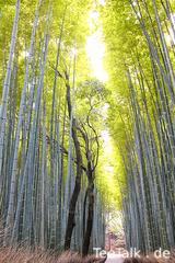 Bamboo grove, Arashiyama / Kyoto