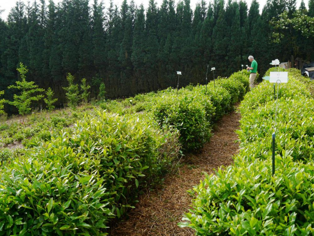 Single Tea harvest 4.06.17_01.jpg