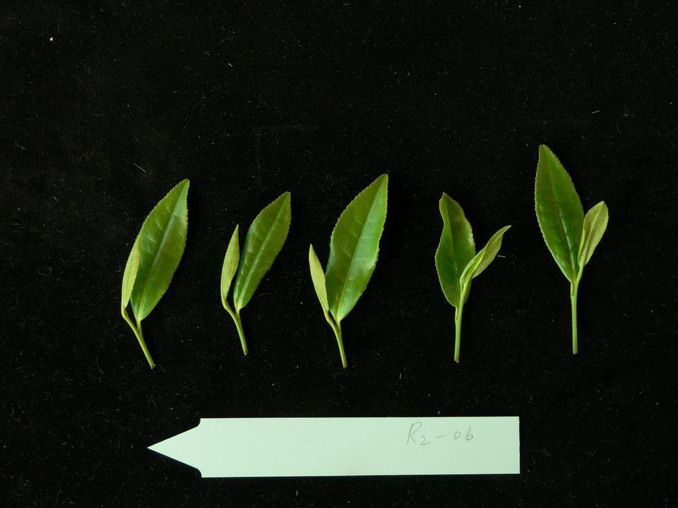 Single Tea harvest 4.06.17_04.jpg