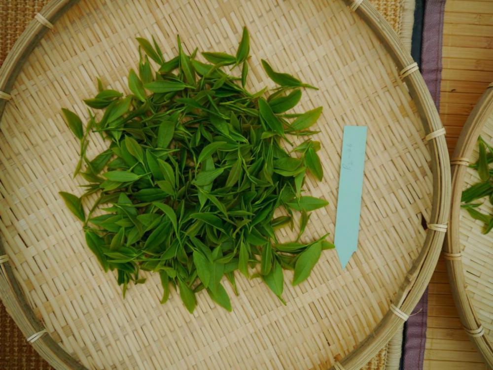 Single Tea harvest 4.06.17_05.jpg