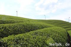 Teelandschaften in Kyoto