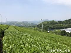 Zentrales Grosses Teefeld in Yame 4