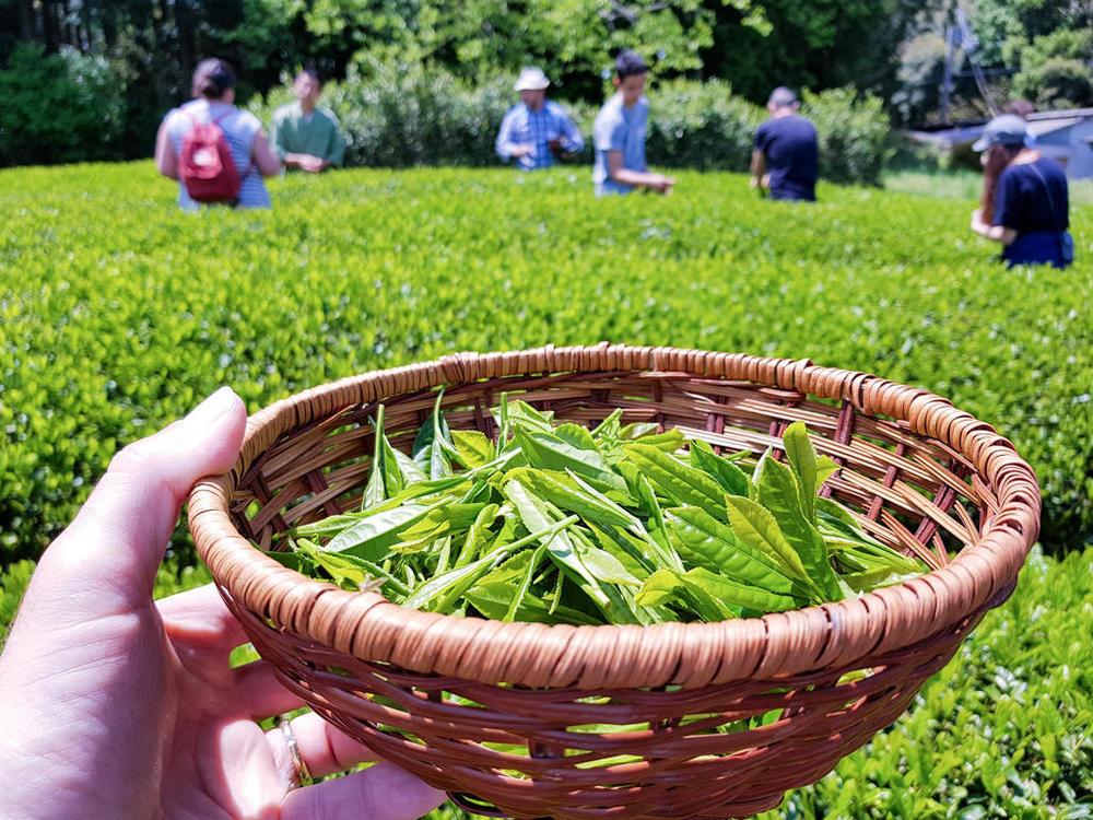 Tea-Picking-145.thumb.jpg.dea749a02911d8eb3e5bb1dd314dd82e.jpg