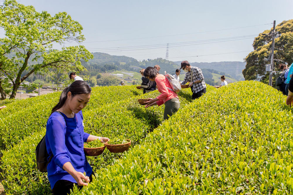 Tea-Picking-19.thumb.jpg.2fbabadad33cd975df3bf9bdc1dc73fb.jpg