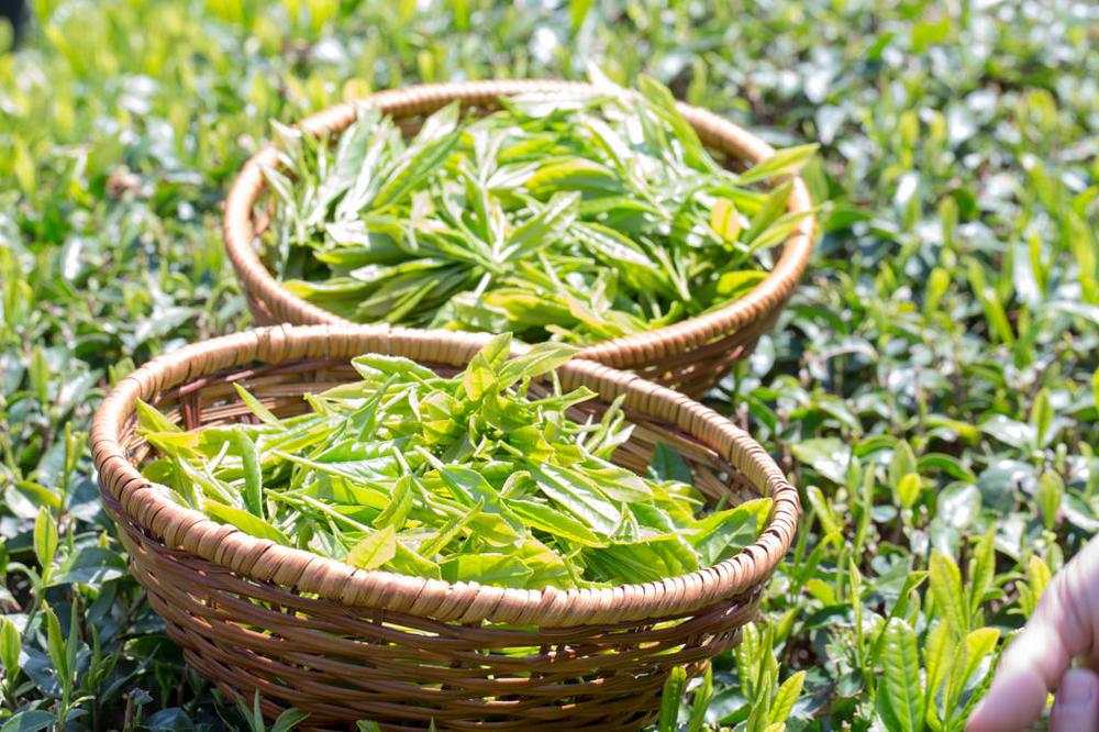 Tea-Picking-3.thumb.jpg.1cac293a01592fef345681a1b5e054b7.jpg