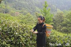 Teeernte 2017 in Wudang Shan 2 (640x426).jpg