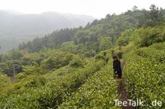 Tee-Anbau in Deutschland & China