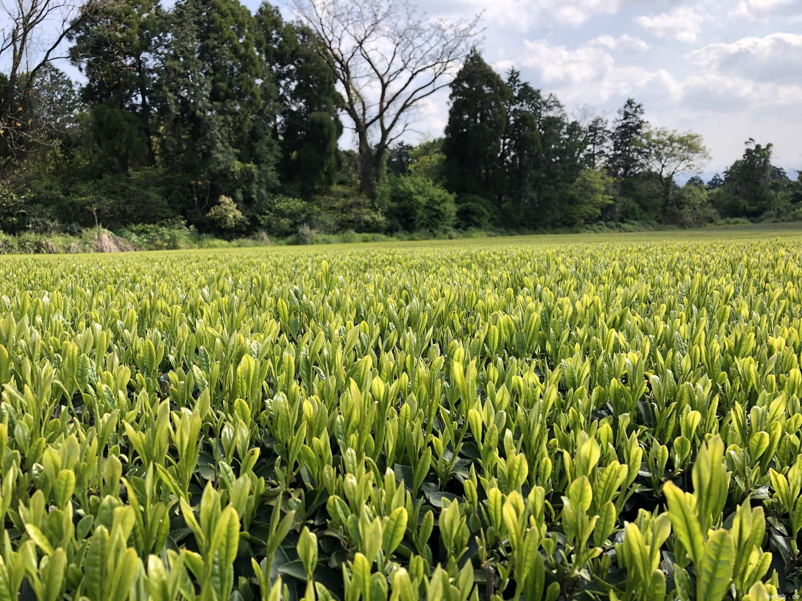 Teefeld in Kyokushi 1
